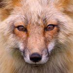 wild red fox-1200x1235